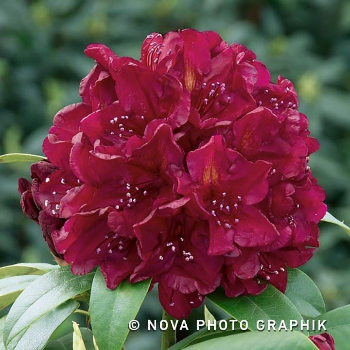 Rhododendron-N0201824_140