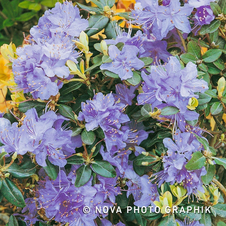 Braspenning-Groep-Rhododendron-dwerg