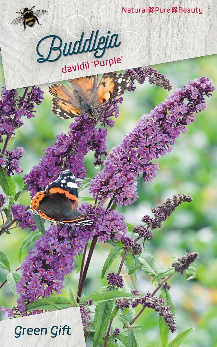 Buddleja davidii 'Purple'