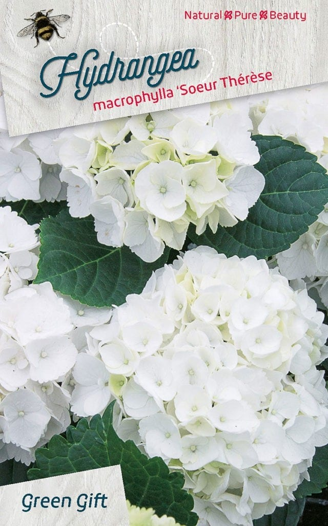 Hydrangea macrophylla 'Soeur Thérèse