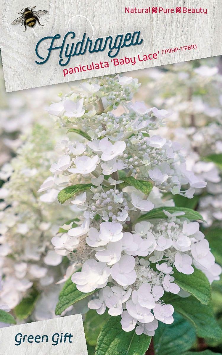 Hydrangea paniculata 'Baby Lace' ('PIIHP - 1'PBR)