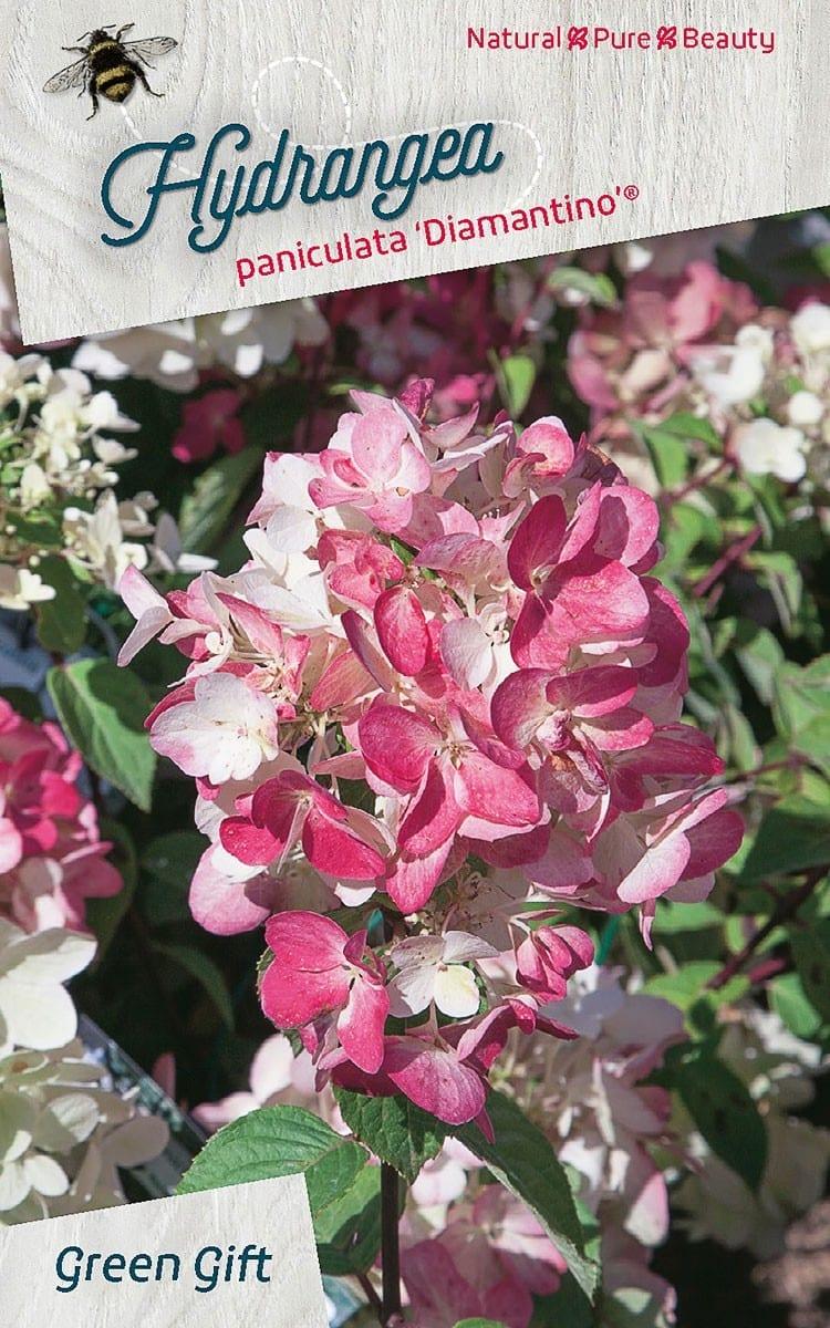 Hydrangea paniculata 'Diamantino' (R)