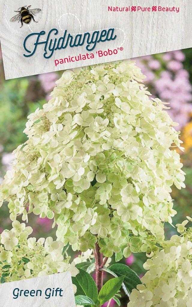 Hydrangea paniculata 'Bobo' ®