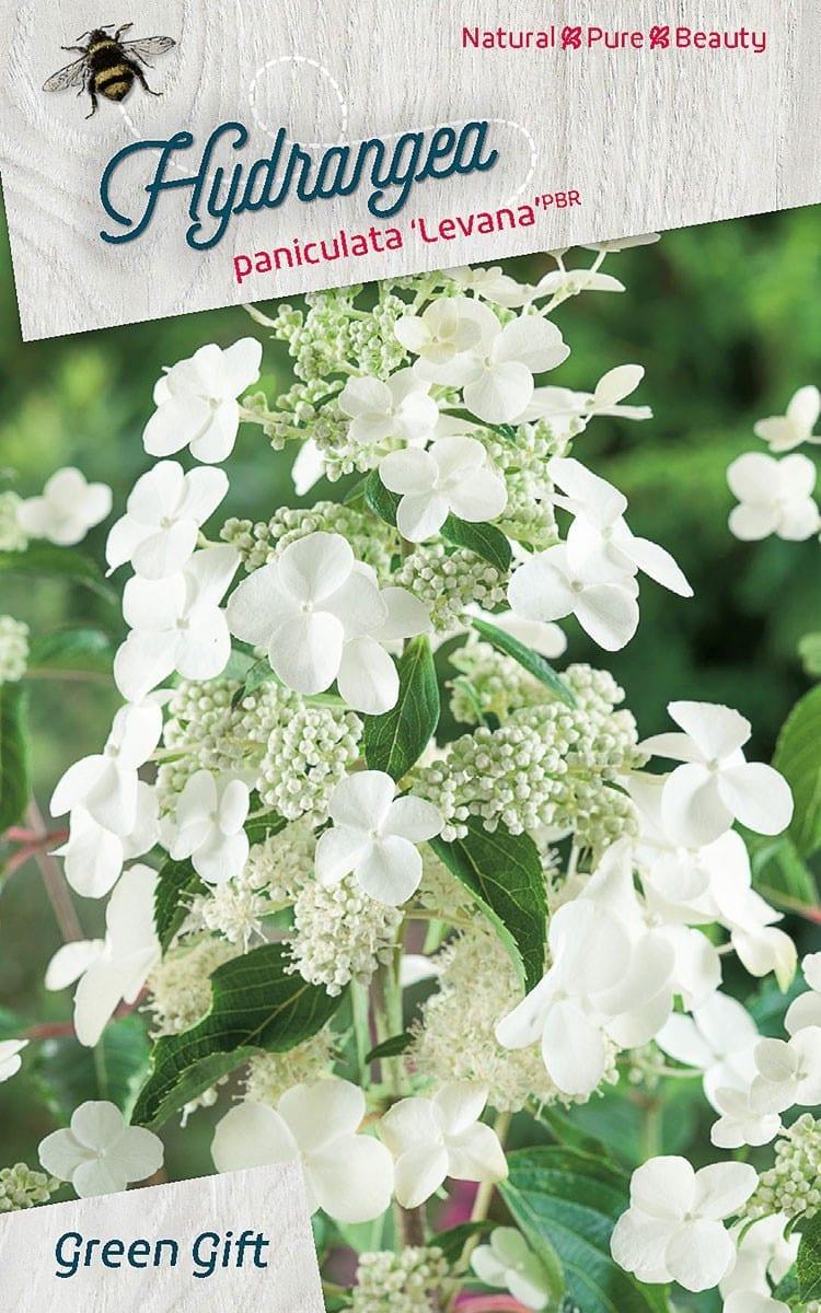 Hydrangea paniculata 'Levana'pbr
