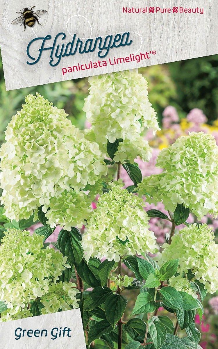 Hydrangea paniculata Limelight' ®