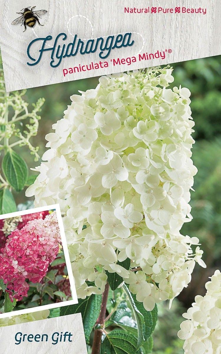 Hydrangea paniculata 'Mega Mindy' ®