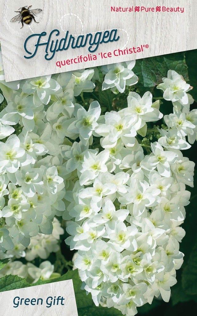 Hydrangea quercifolia 'Ice Christal' (R)
