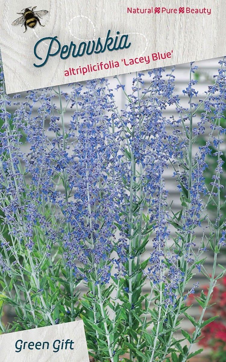 Perovskia atrilicifolia Lacey Blue ('Lisslitt'PBR)
