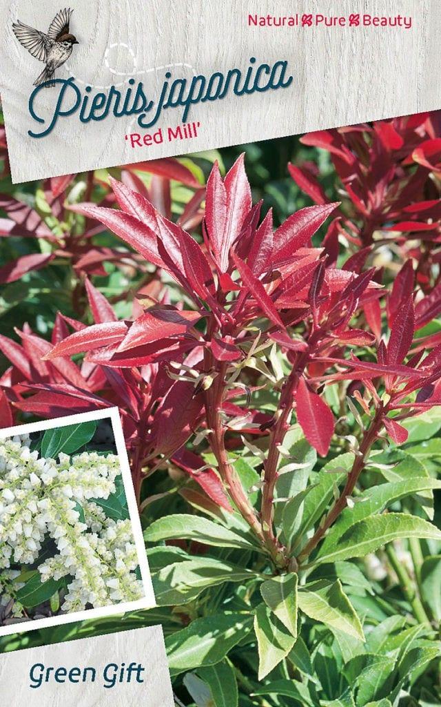 Pieris japonica 'Red Mill'