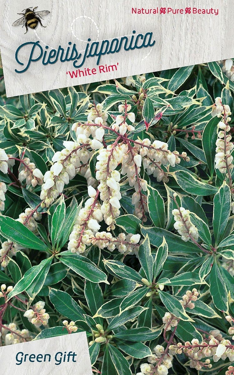Pieris japonica 'White Rim'