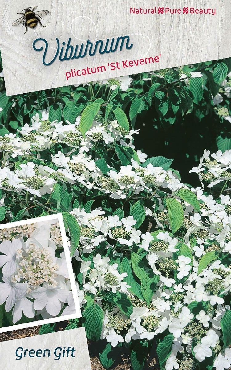 Viburnum plicatum 'St Keverne'