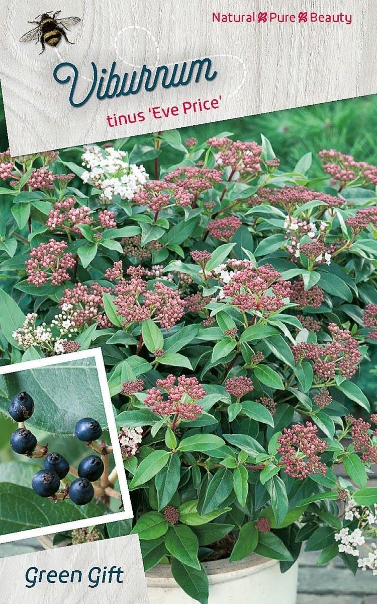 Viburnum tinus 'Eve Price'