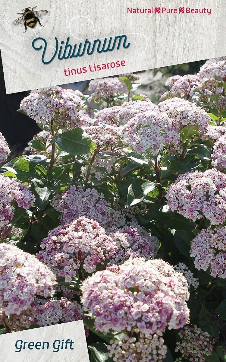 Viburnum tinus Lisarose 'Loren'(PBR)