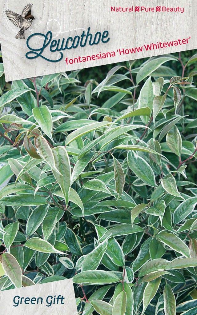 Leucothoe fontanesiana 'Howw Whitewater'