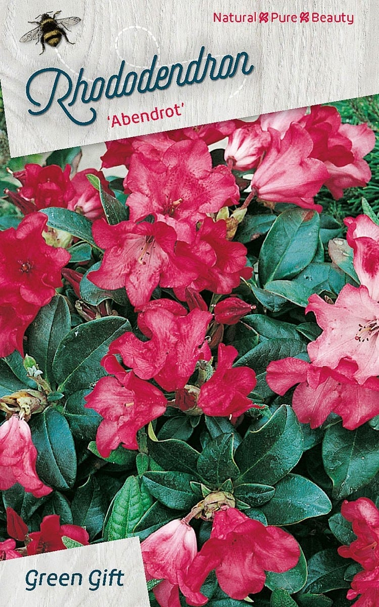 Rhododendron 'Abendrot'