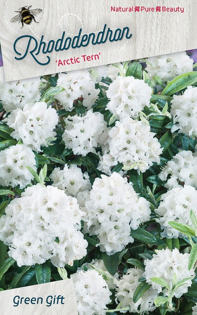 Rhododendron 'Arctic Tern'