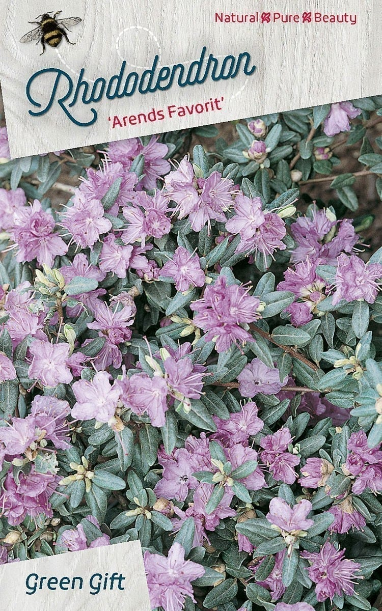 Rhododendron 'Arends Favorit'