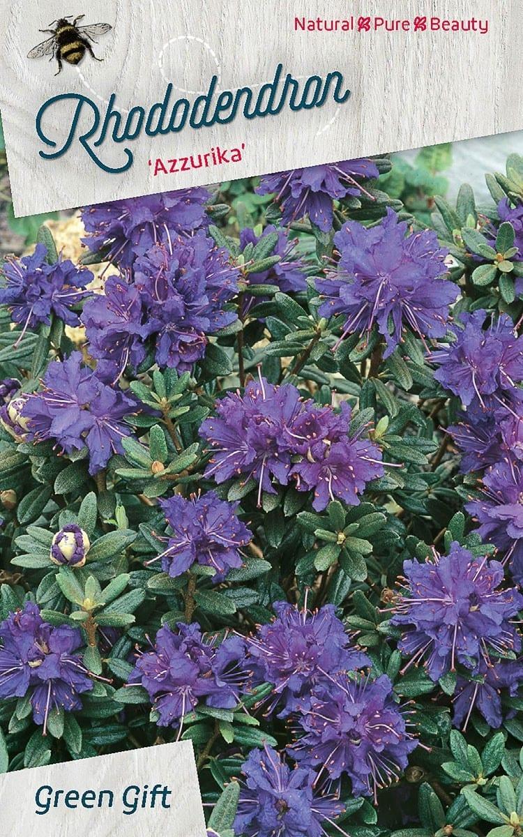 Rhododendron 'Azzurika'