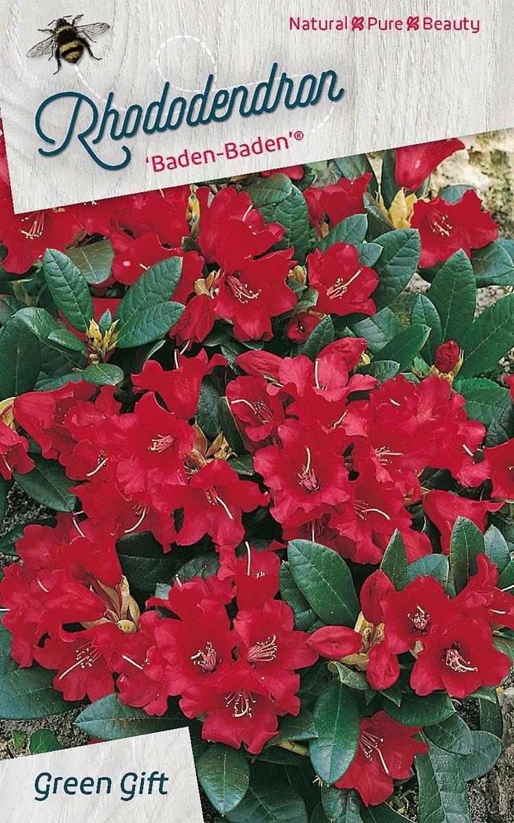 Rhododendron 'Baden - Baden' (R)