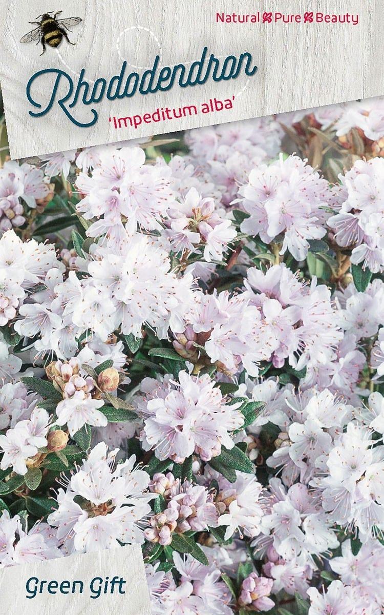 Rhododendron 'Impeditum alba'