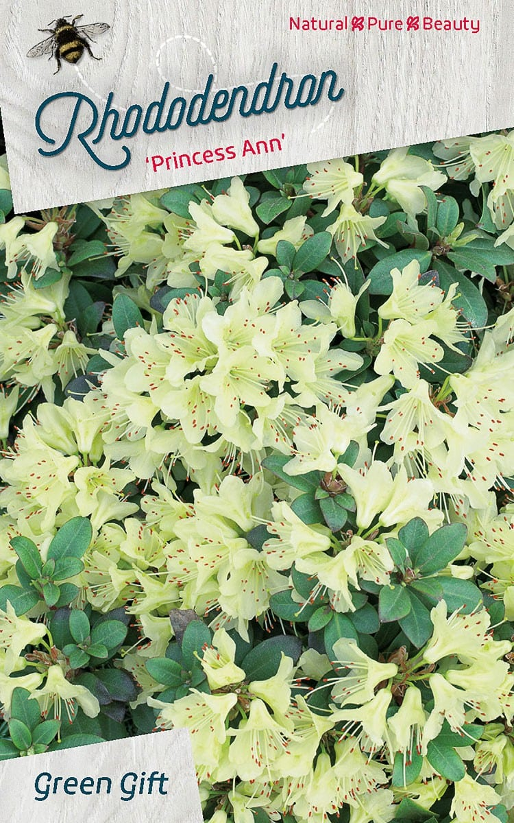 Rhododendron 'Princess Ann'