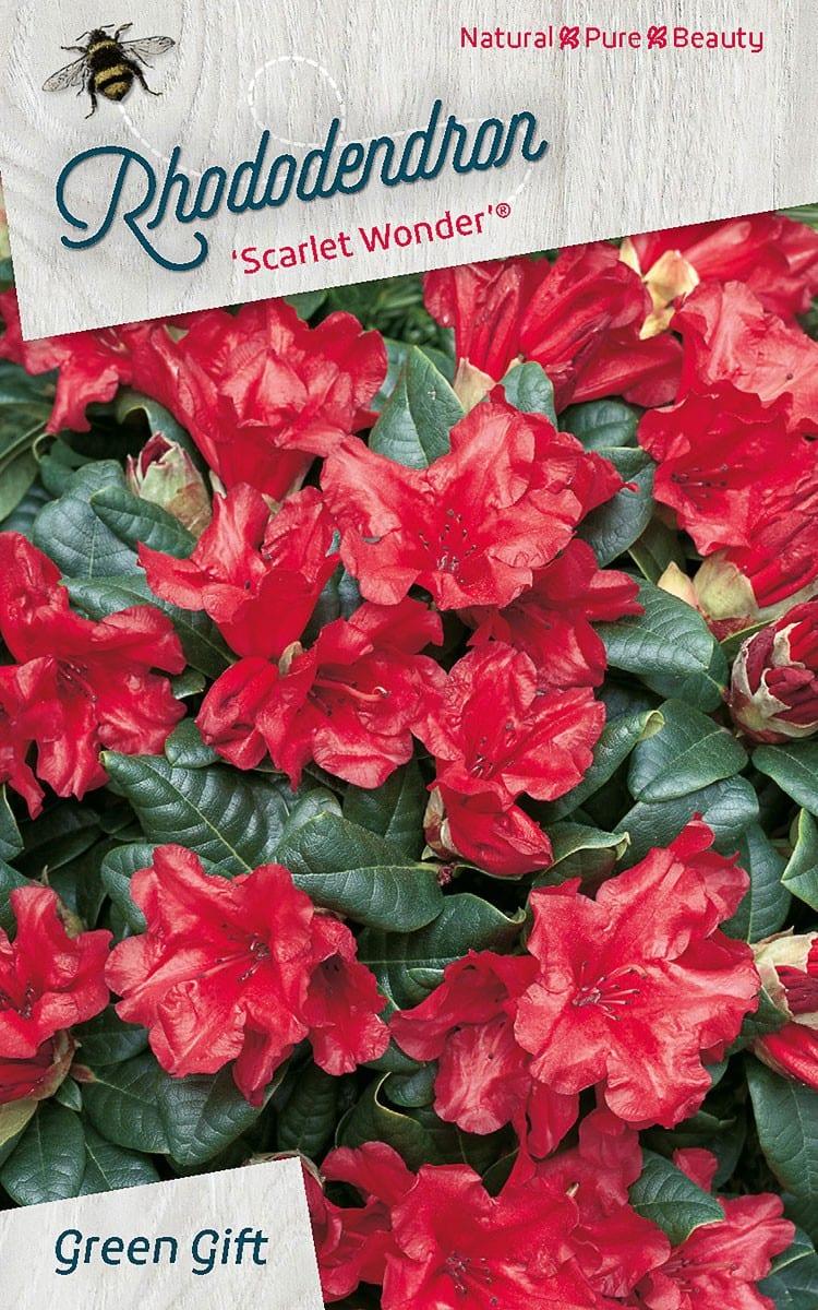 Rhododendron 'Scarlet Wonder' (R)