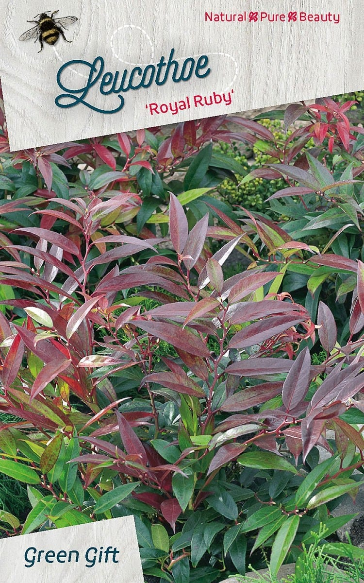 Leucothoe 'American Beauty' = Pierce?