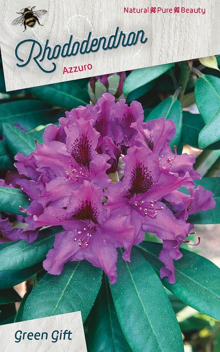 Rhododendron Azzuro / Azzurike