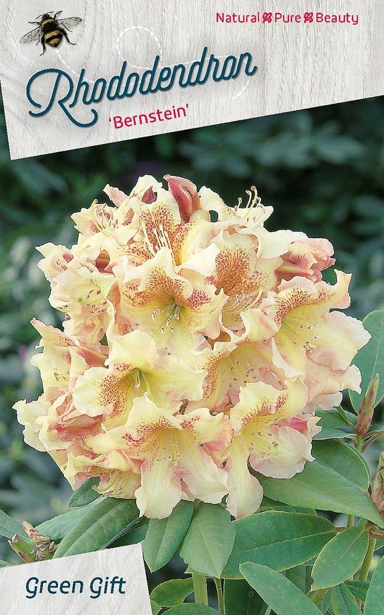 Rhododendron 'Bernstein'