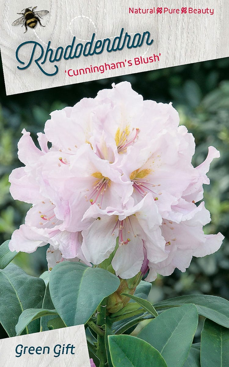 Rhododendron 'Cunningham's Blush'