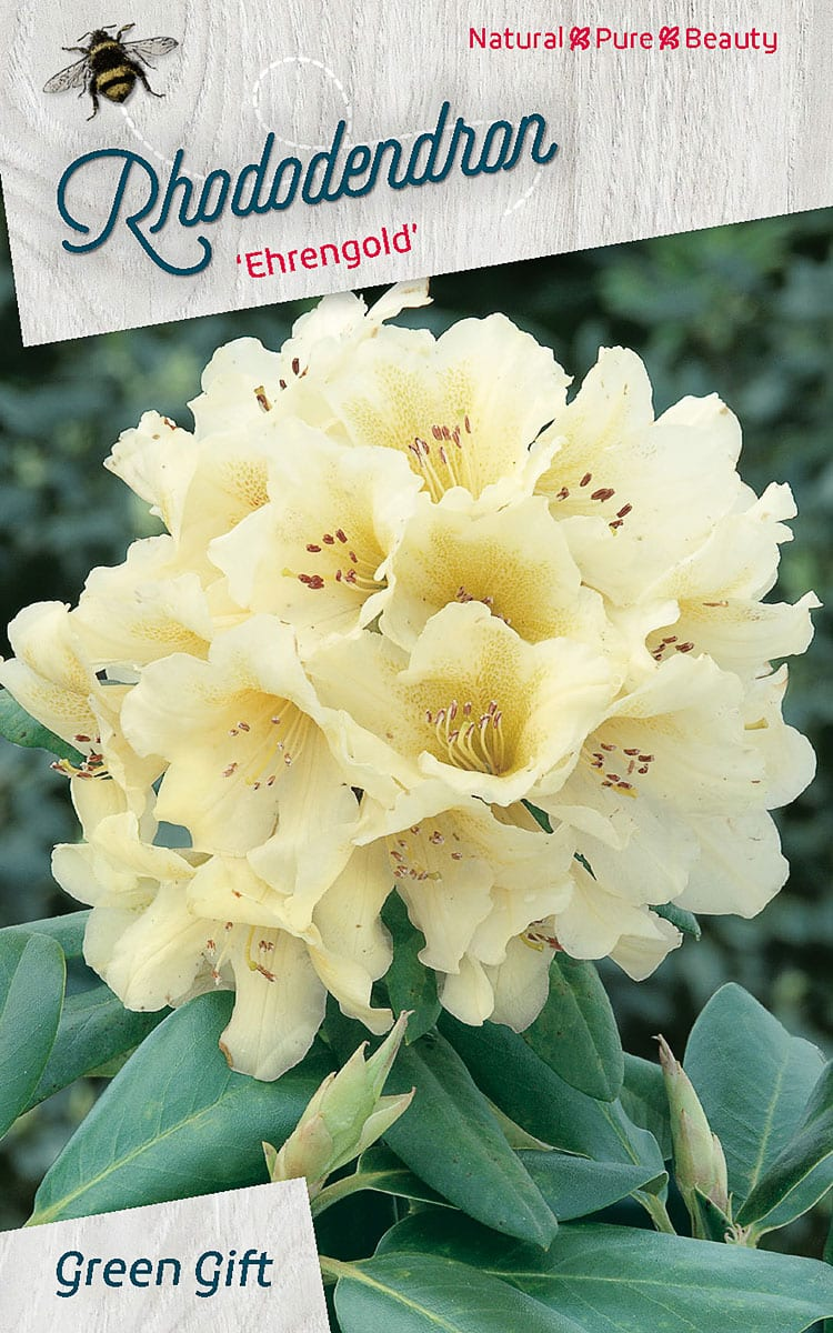 Rhododendron 'Ehrengold'