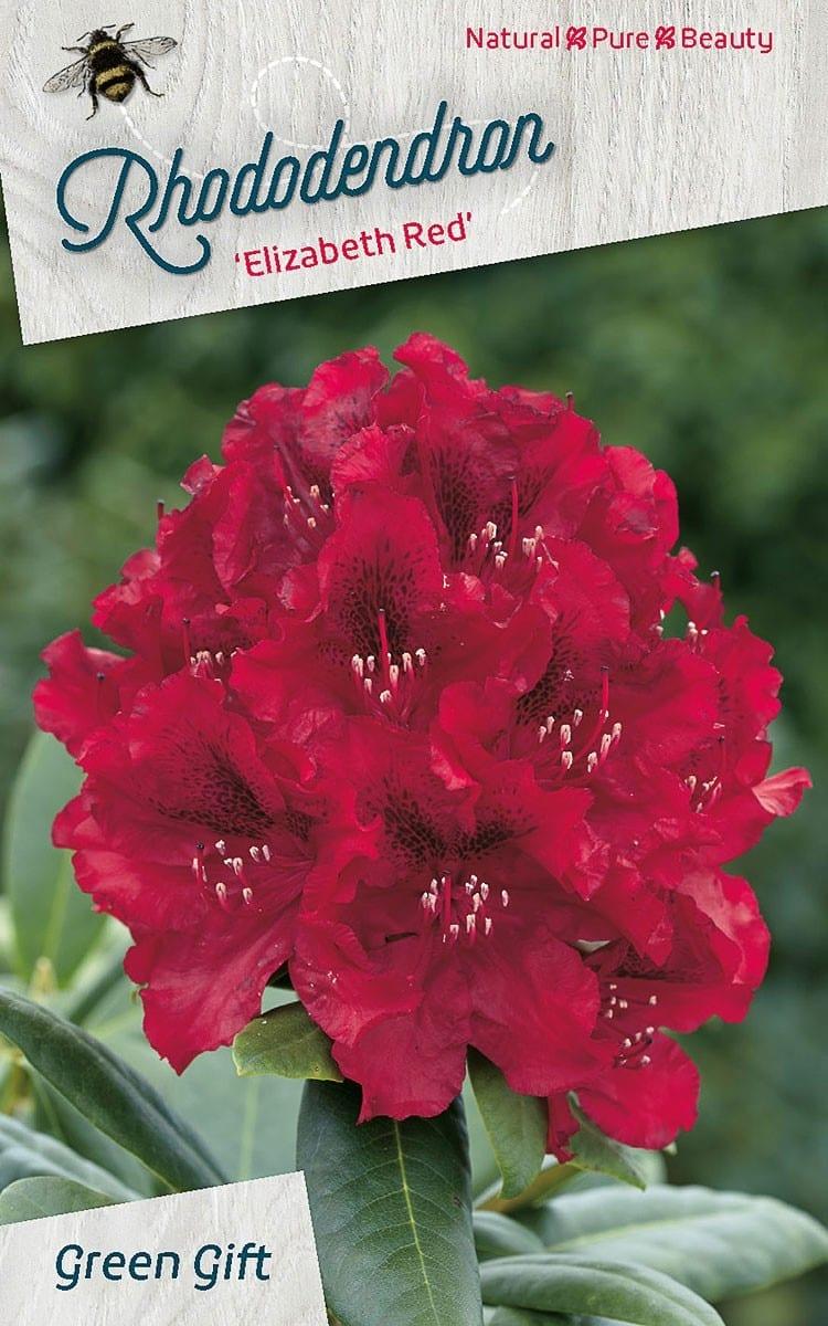 Rhododendron 'Elizabeth Red'