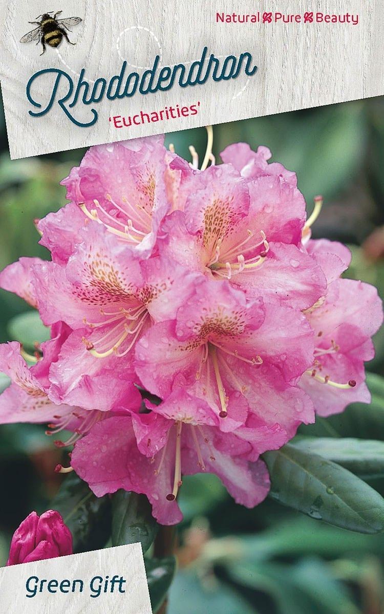 Rhododendron 'Eucharities'