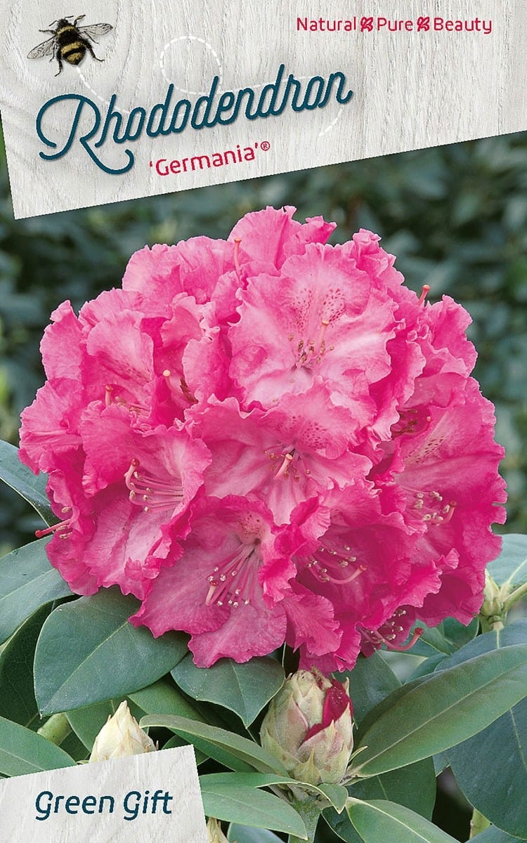 Rhododendron 'Germania'®