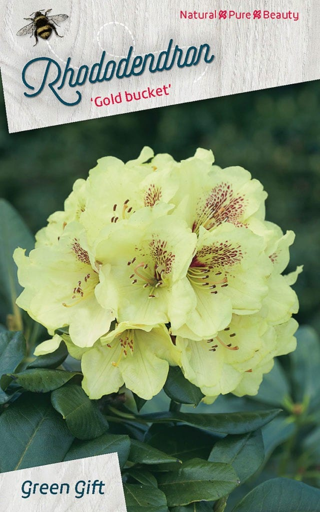 Rhododendron 'Gold bucket'