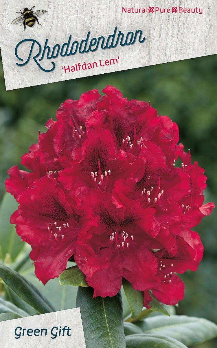Rhododendron 'Halfdan Lem'