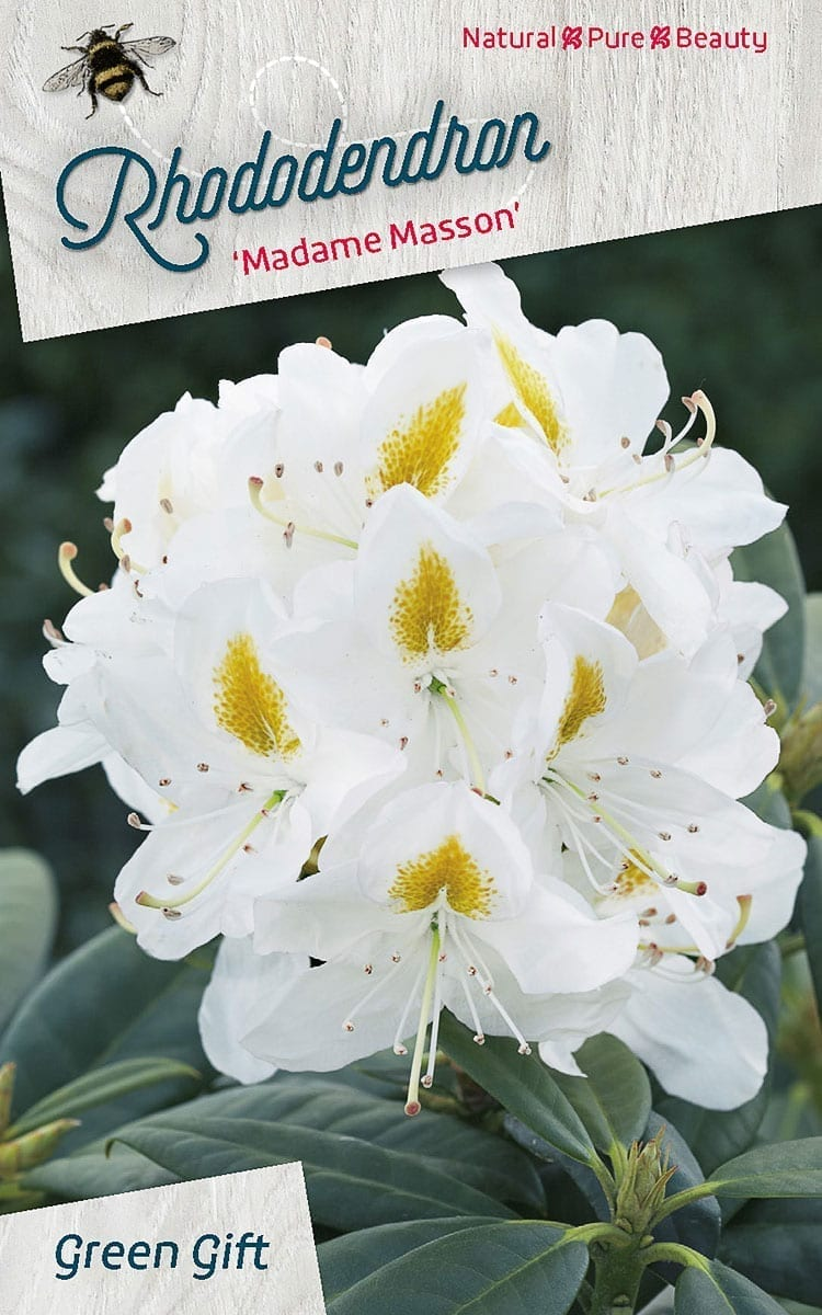 Rhododendron 'Madame Masson'