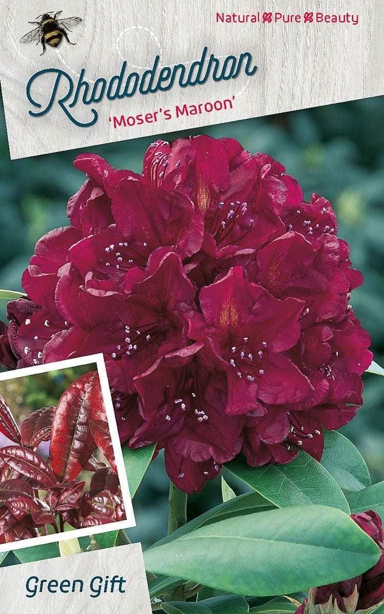 Rhododendron 'Moser's Maroon'
