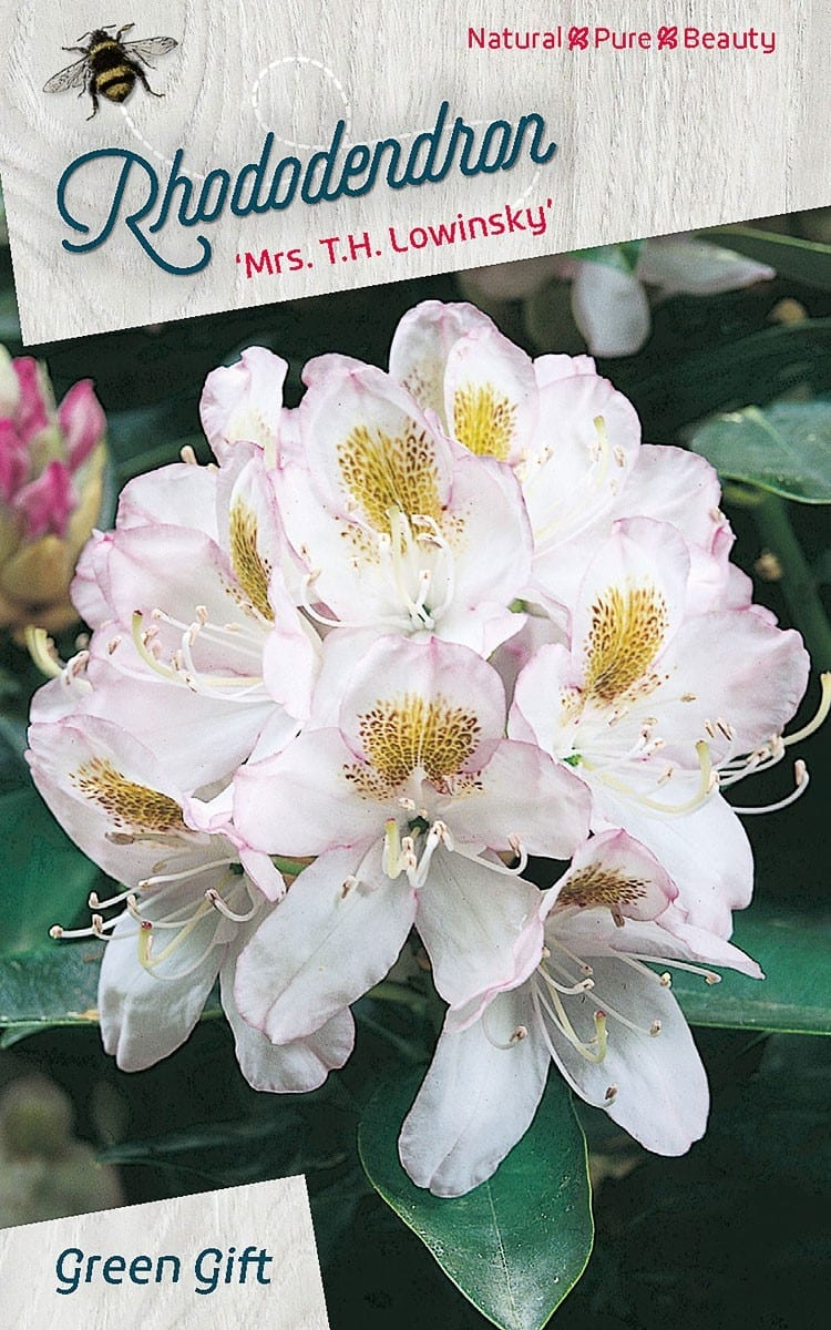 Rhododendron 'Mrs. T.H. Lowinsky'