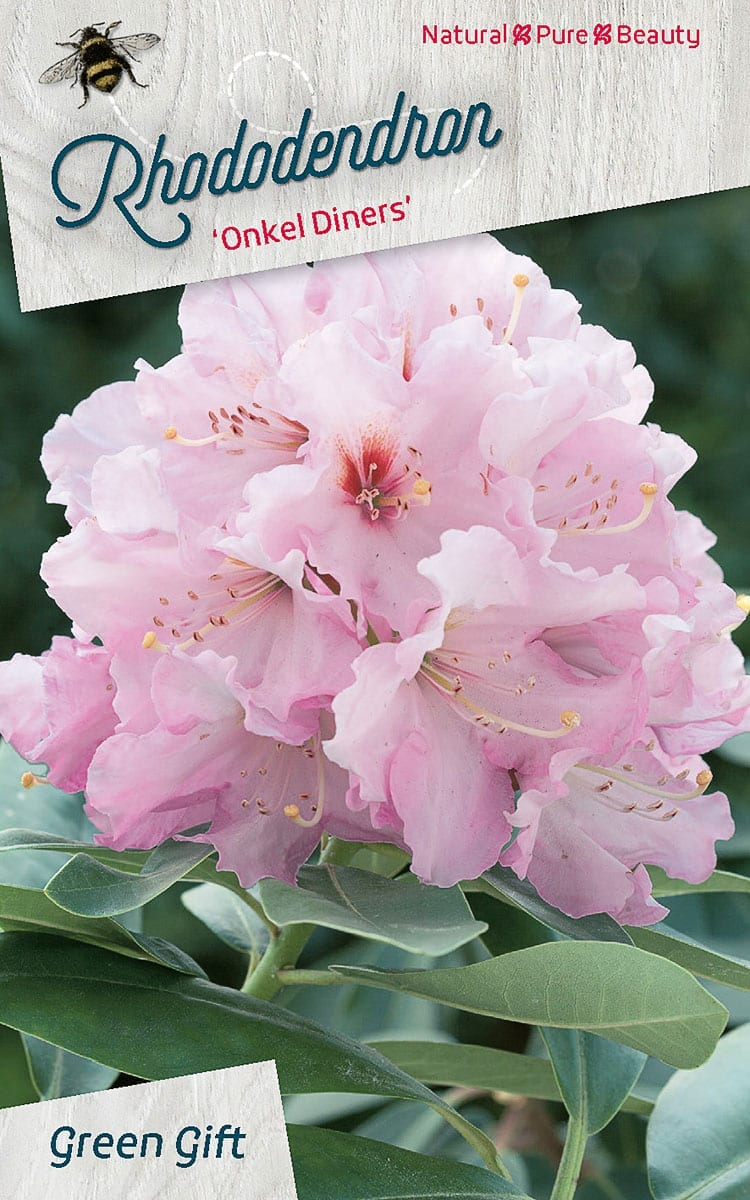Rhododendron 'Onkel Diners'