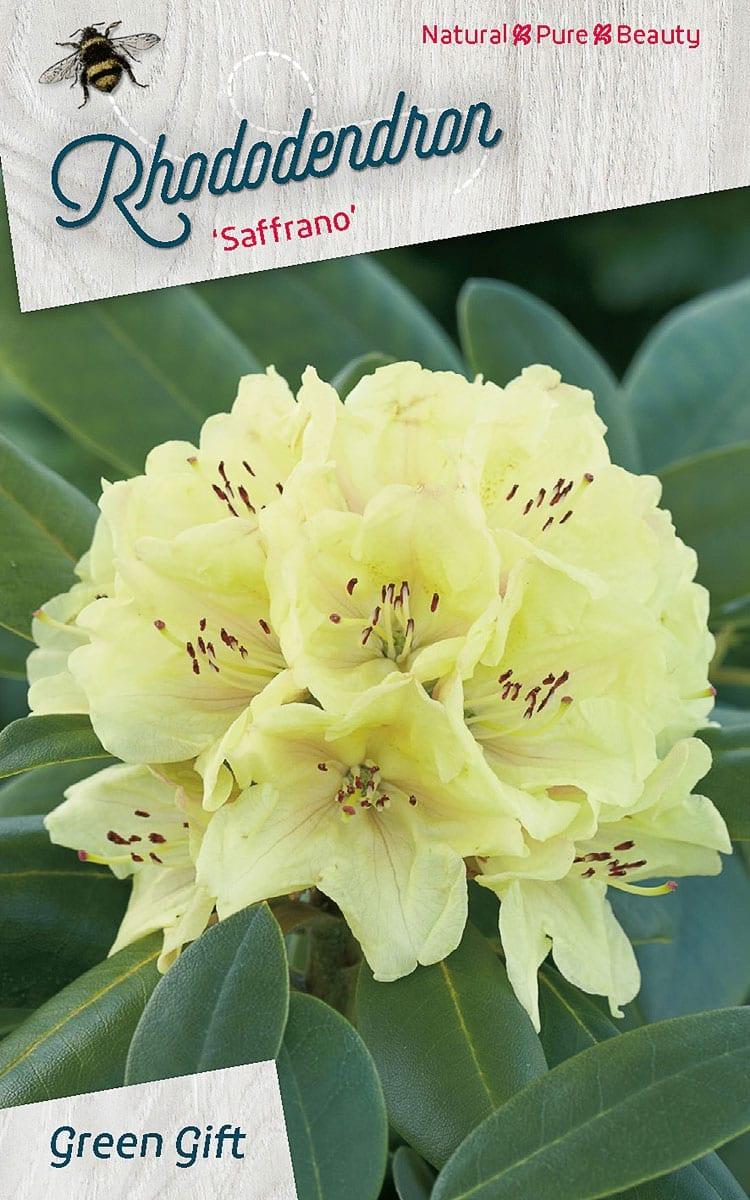 Rhododendron 'Saffrano'