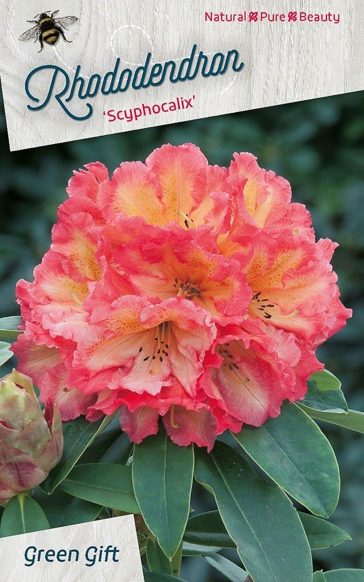 Rhododendron 'Scyphocalix'