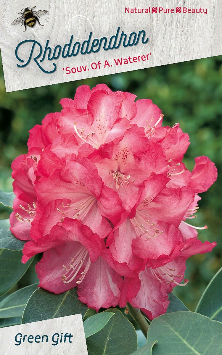Rhododendron 'Souv. Of A. Waterer'