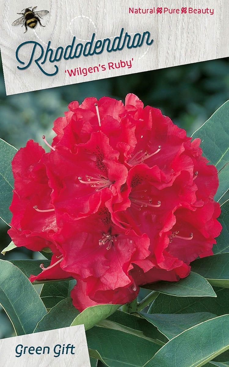 Rhododendron 'Wilgen's Ruby'
