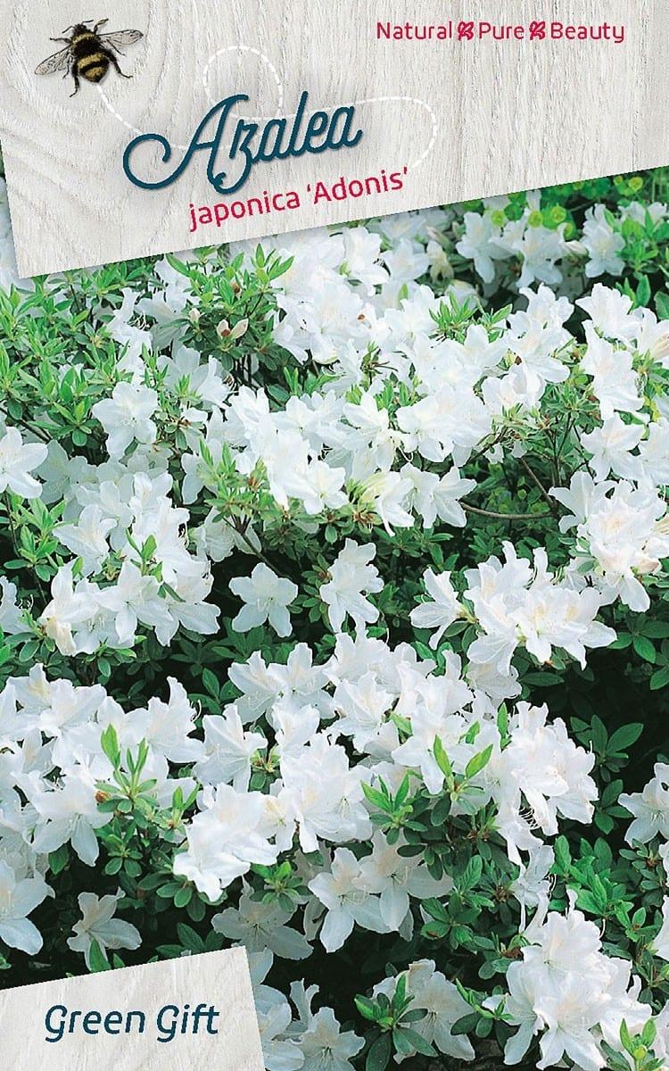 Azalea japonica 'Adonis'