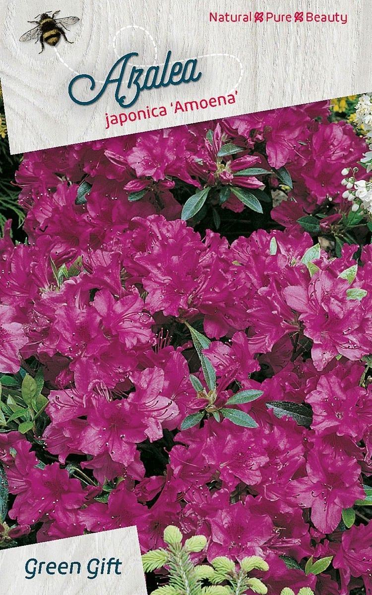 Azalea japonica'Amoena'