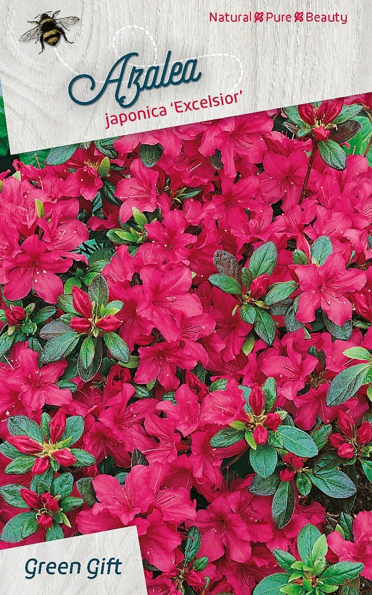 Azalea japonica 'Excelsior'