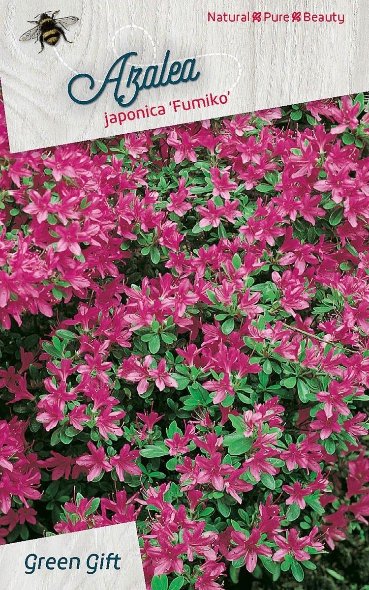 Azalea japonica 'Fumiko'