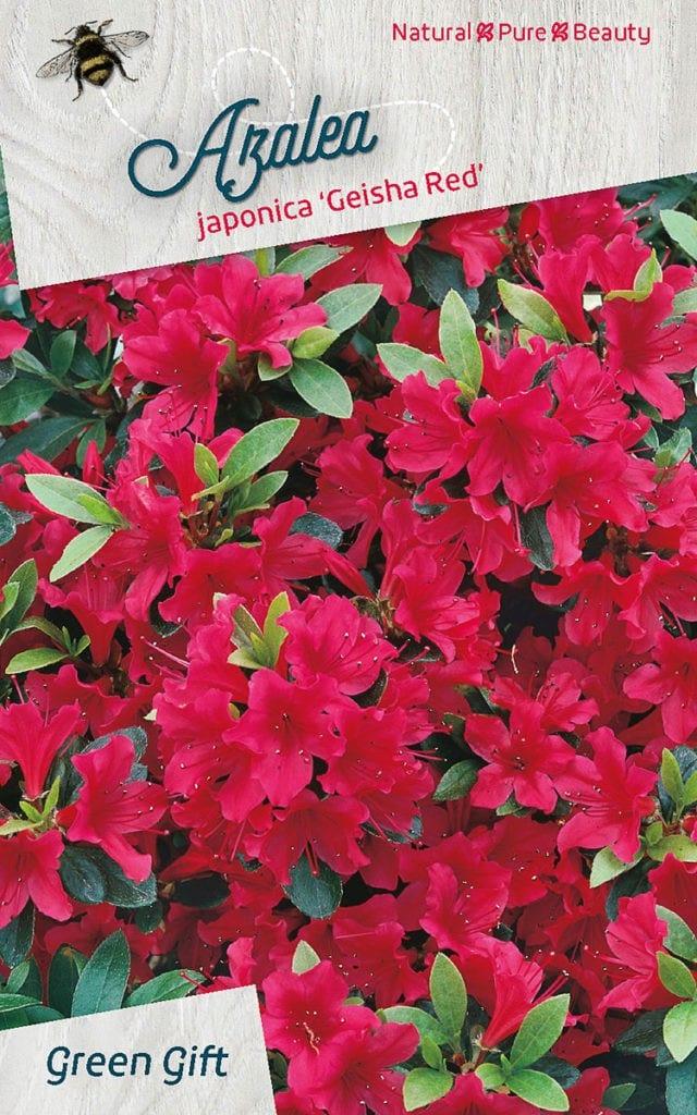 Azalea japonica 'Geisha Red'