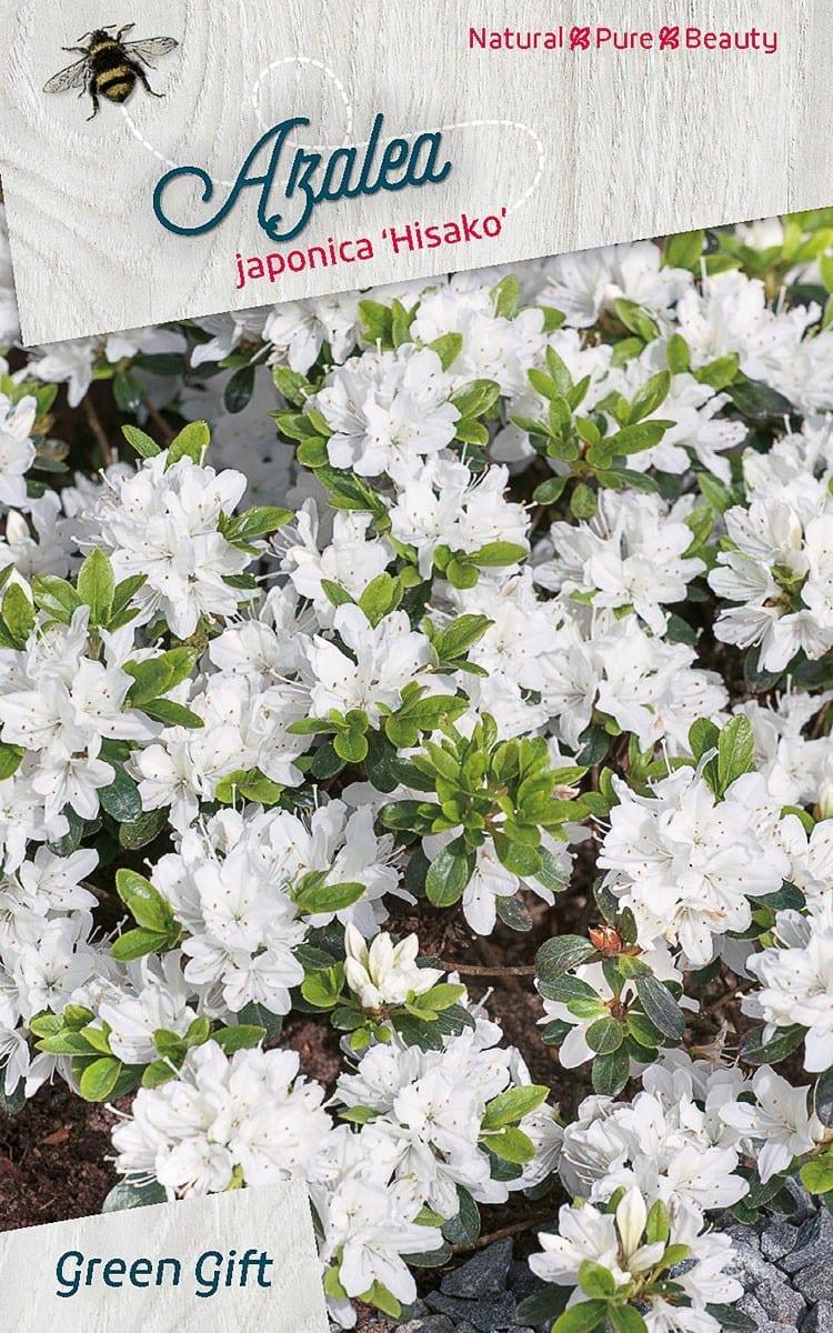 Azalea japonica 'Hisako'